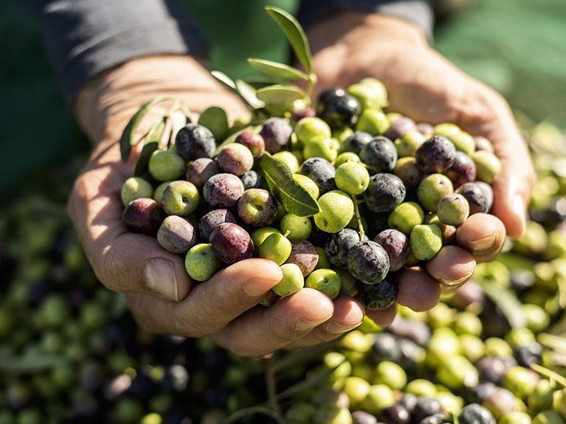 Der große RohKöstlich Oliven und Olivenöl Guide