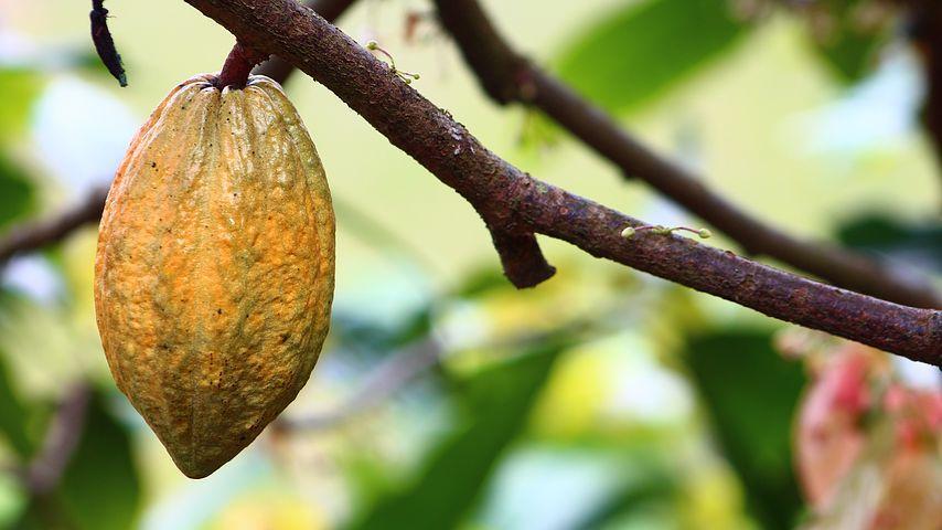 cocoa-1529742__480