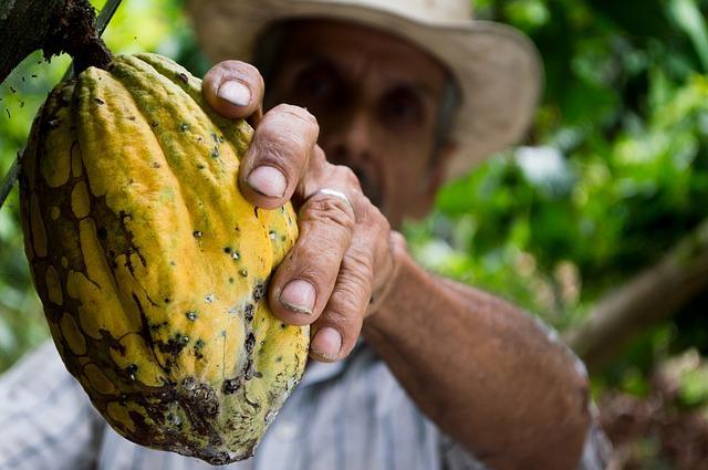 Kakao Frucht in der Hand