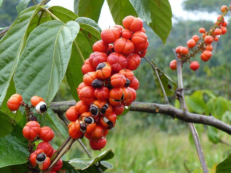 Guarana Pulver - Verwendung, Inhaltsstoffe und Nährwerte