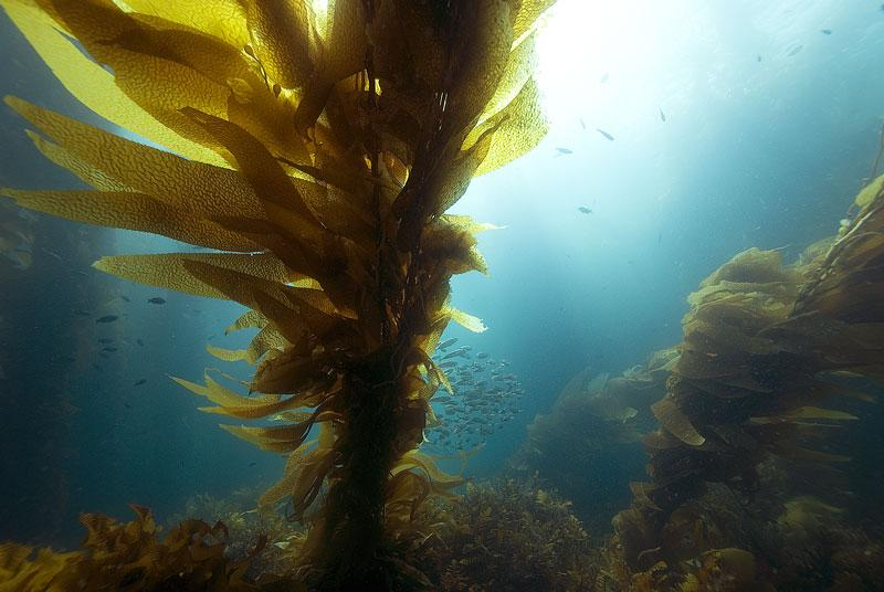 Kelp: Der rohköstliche Pasta-Ersatz